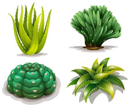pflanzen: Illustration der Aloe-Vera-Pflanzen und Kakteen auf einem weißen Hintergrund