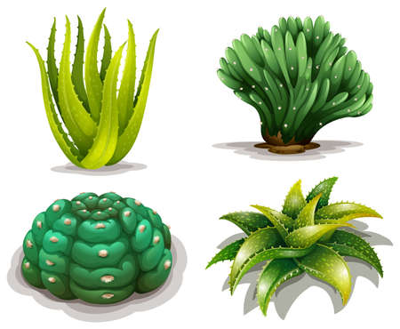 Illustration of the aloe vera plants and cacti on a white background