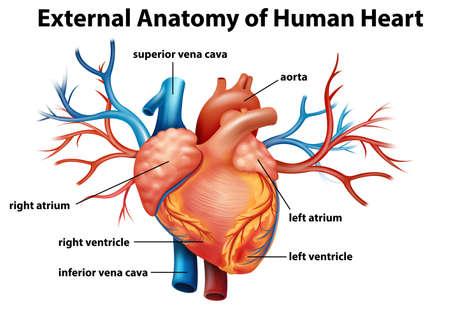 corazon humano: Ilustraci�n de la anatom�a del coraz�n humano sobre un fondo blanco