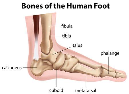 distal: Illustrazione delle ossa del piede umano su uno sfondo bianco