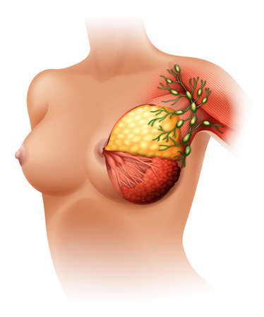 Illustration of the breast Anatomy on a white background Vector