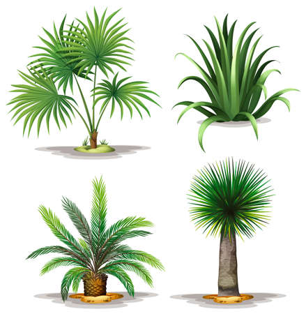 landscaping: Illustration of the palm plants on a white background