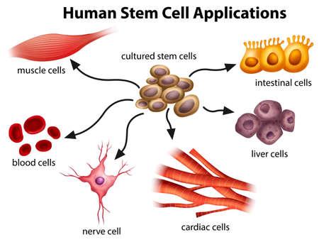 celula animal: Ilustración de las aplicaciones de células madre humanas sobre un fondo blanco