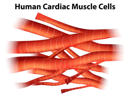 Illustration of the human cardiac muscle cells on a white background Illustration