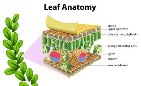 白い背景の上の葉の解剖学のイラスト