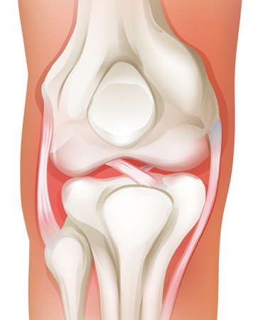 Illustration of the knee joint of human on a white background Vector