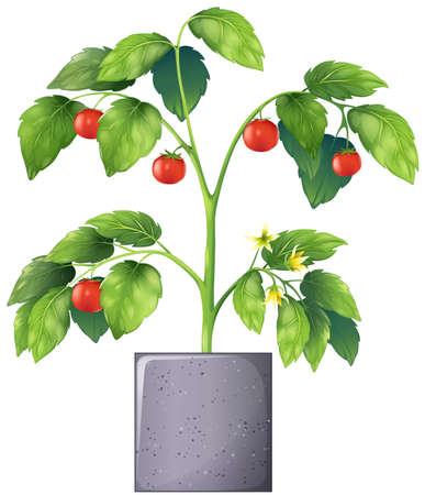Illustration of a tomato plant on a white