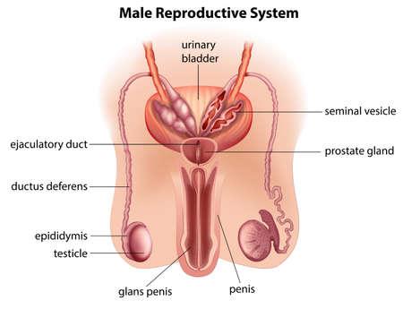 pene: Ilustración de la anatomía del aparato reproductor masculino sobre un fondo blanco