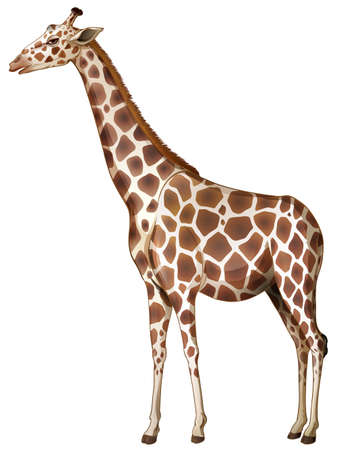 camelopardalis: Illustration of a giraffe on a white background