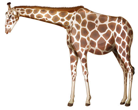 camelopardalis: Illustration of a tall giraffe on a white background Illustration