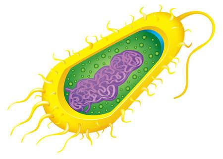 estructura: Ilustración de una célula de las bacterias Vectores