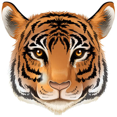 tiger white: Illustration of a head of a tiger on a white background