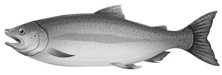 actinopterygii: Illustration of a grey trout fish on a white background