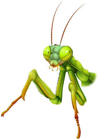 insecta: Illustration of a praying mantis on a white background