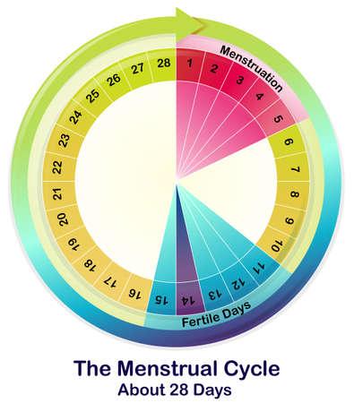 menstruacion: Ilustración del ciclo menstrual en un fondo blanco Vectores
