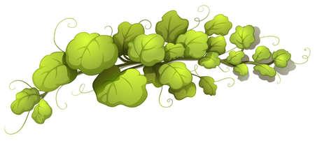 stomata: Illustration of the vine leaves on a white background