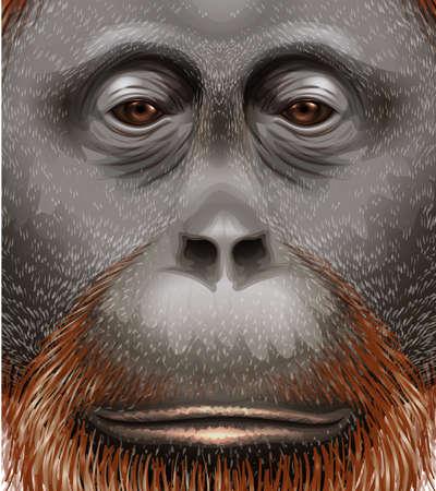sumatran: Illustration of an orangutan Illustration