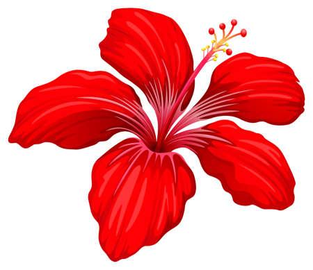 fiori di ibisco: Illustrazione di un impianto di ibisco rosso isolato su bianco