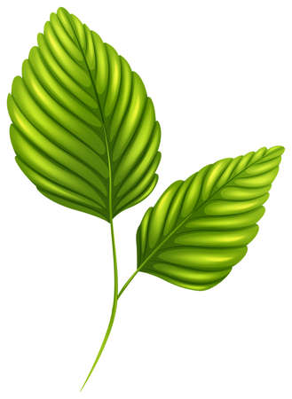 stomata: Illustration of the green leaves on a white background