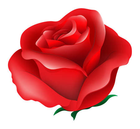 rosaceae: Illustration of a red rose on a white background Illustration