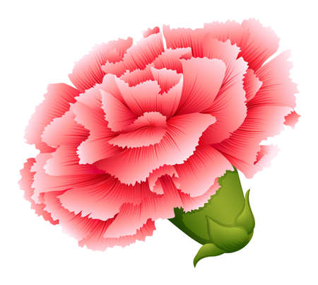 angiosperms: Illustration of a fresh carnation pink flower on a white background