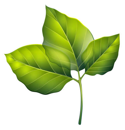 Illustration of the three green leaves on a white background