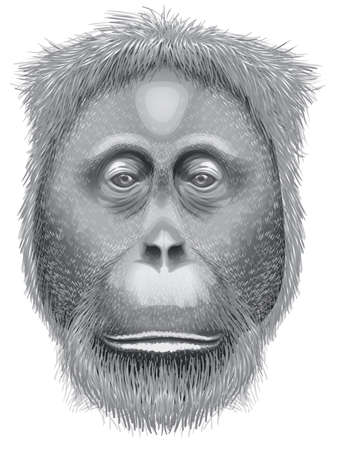apes: Illustration of a head of an orangutan on a white background Illustration