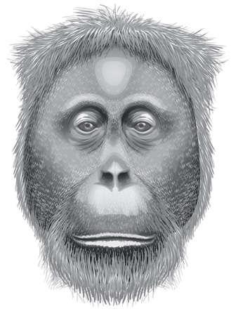 sumatran: Illustration of a head of an orangutan on a white background Illustration