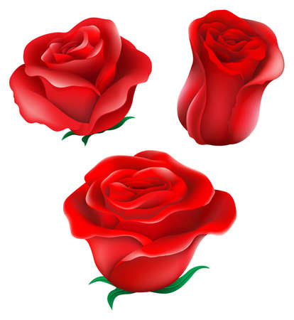 Illustration of the red roses on a white background