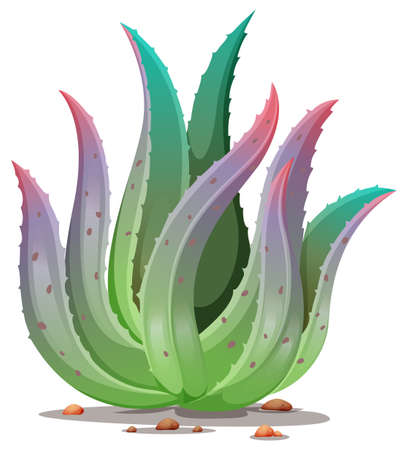 aloe vera plant: Illustration of an aloe vera plant on a white background