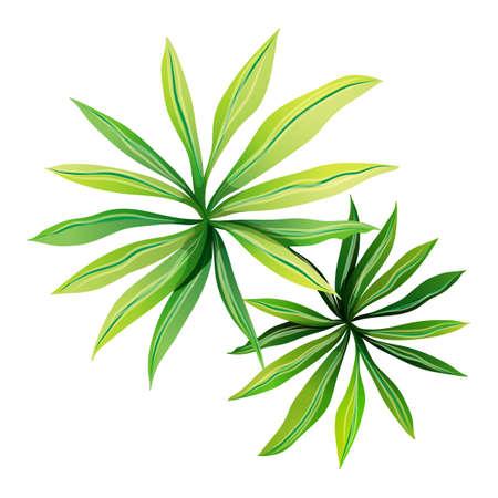 Illustratie van een bovenaanzicht van een plant met langwerpige bladeren op een witte achtergrond