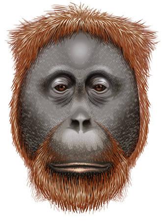 sumatran: Illustration of an orangutan on a white background