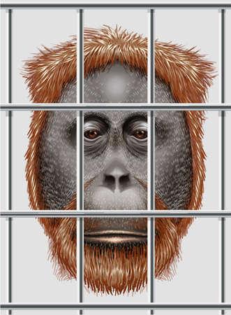 arboreal: Illustration of an endangered orangutan Illustration