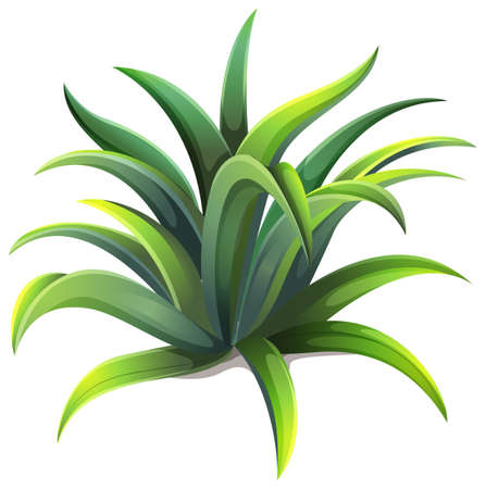 variegated: Illustration of a dwarf agave plant on a white background