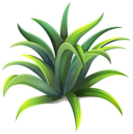 agave: Ilustraci�n de una planta de agave enana sobre un fondo blanco Vectores