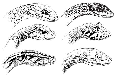 serpentes: Illustration of the sketch of snakes on a white background Illustration