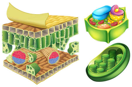 celulosa: Ilustración de las células de la planta sobre un fondo blanco
