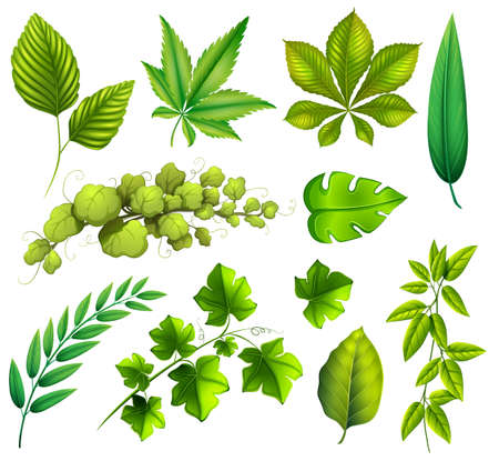 stomata: Illustration of the different leaves on a white background Illustration