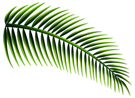 absorption: Illustration of the palm leaves on a white background