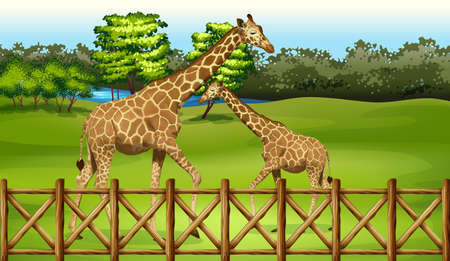 herbivorous: Illustration of the giraffes in the forest