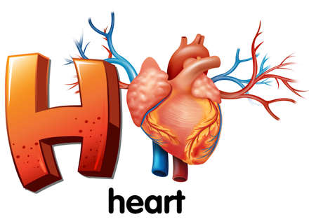 myocardium: Illustration of a letter H for heart on a white background  Illustration