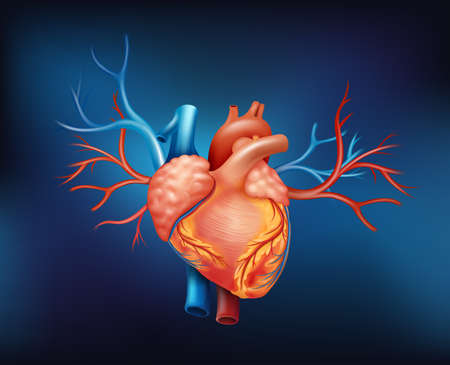 tricuspid valve: Illustration of a human heart on a blue background
