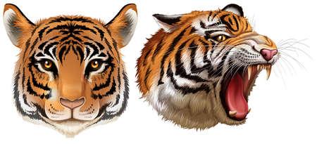 panthera: Illustrazione della testa delle tigri su uno sfondo bianco