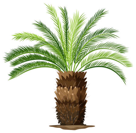perennial: Illustration of a a topview of a sago palm plant on a white background Illustration