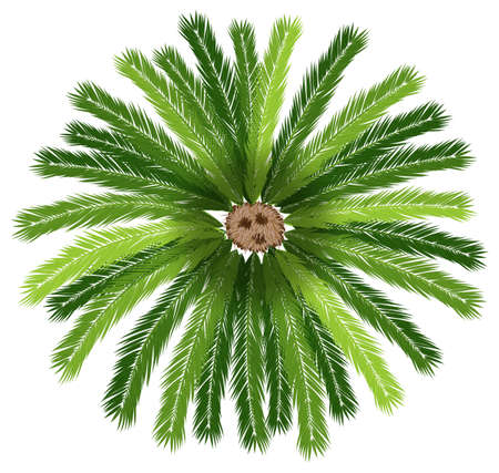 top: Illustration of a sago palm tree on a white background Illustration