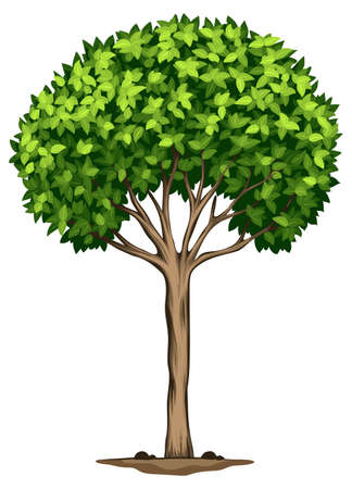 Illustration of a Laurus nobilis tree on a white background Vector