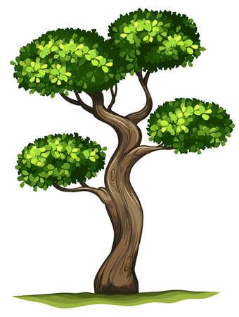 ebony tree: Illustration of a Diospyros rhodocalyx plant on a white background