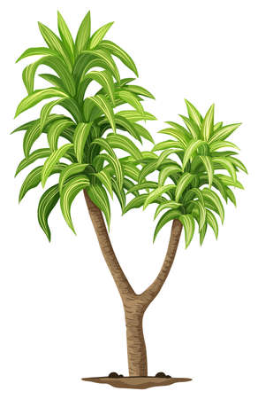 Illustration of the Queen of Dracaenas plant on a white background Vector