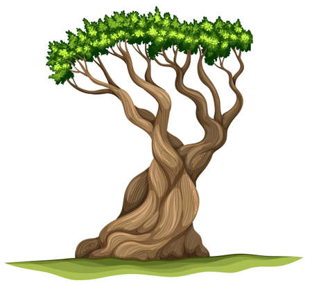 bristlecone: Illustration of a Bristlecone pine tree on a white background Illustration