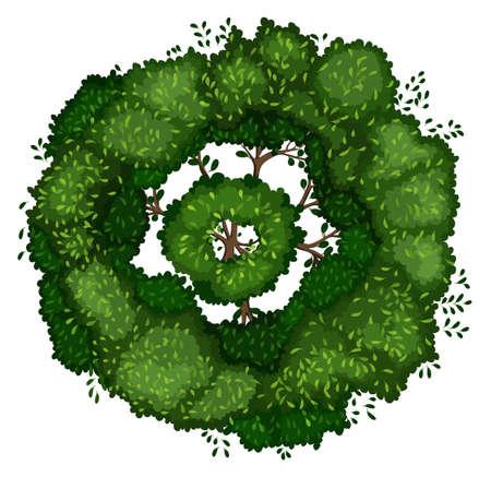 tree top view: Illustration of Terminalia ivorensis